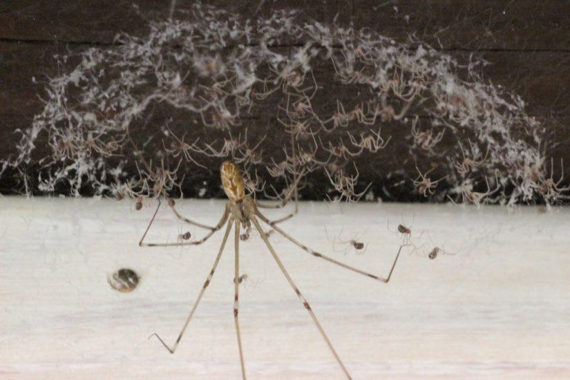 Les araignées, ces petites bêtes qui nous veulent du bien 2