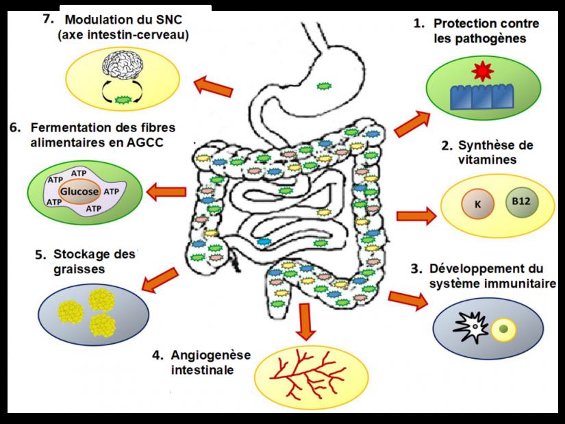 Il est comment toi, ton microbiote? 3