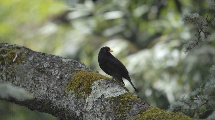 merle-noir-oiseaux-jardin-lpo