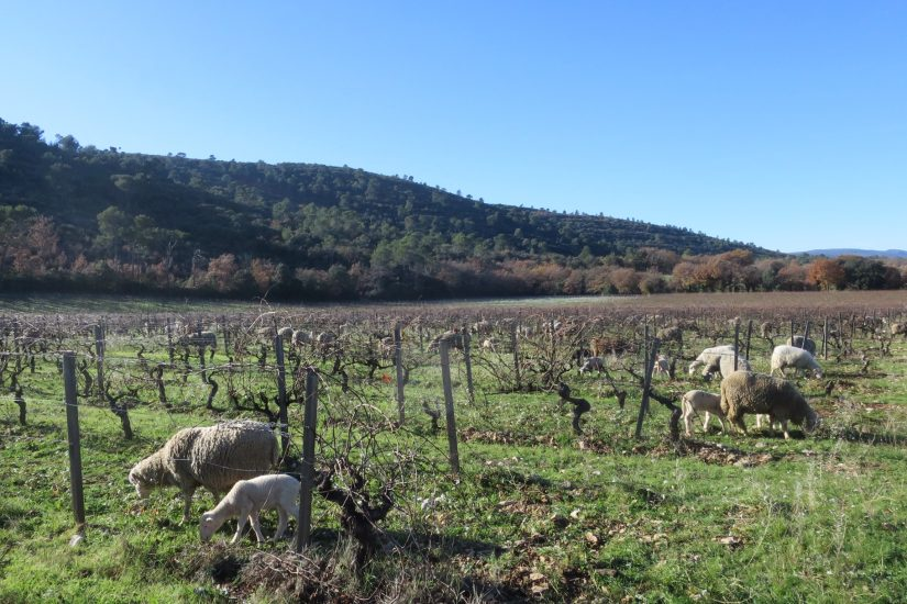 Dessine-moi des moutons… dans les vignes 2