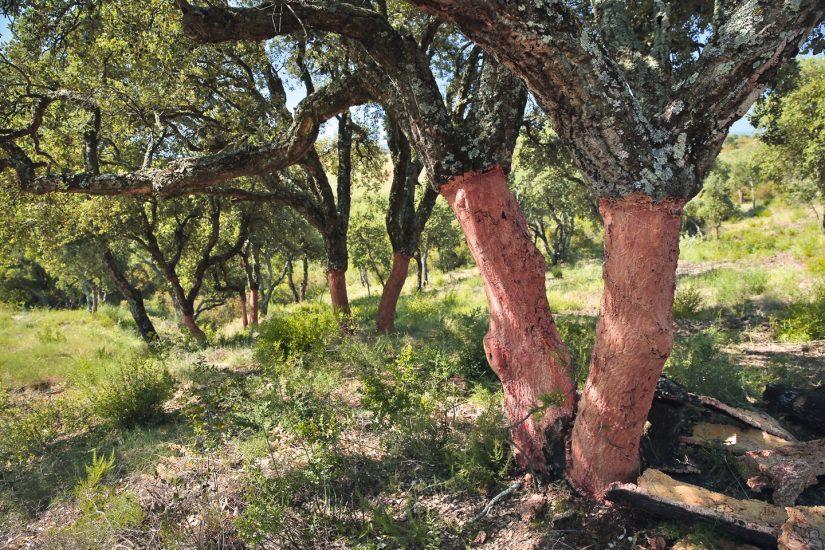 Le liège de Provence reprend de l'épaisseur 1