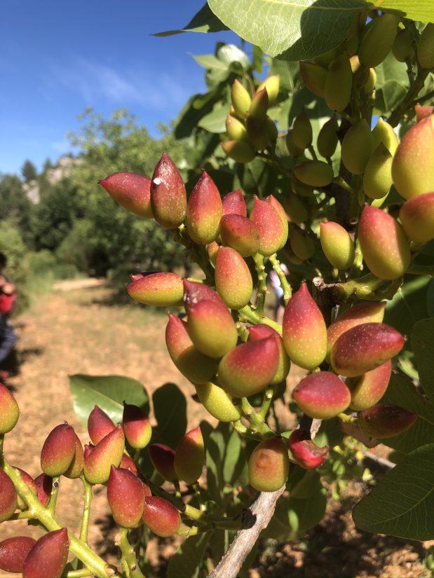 pistachiers en provence
